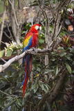 Macaw bird full length image sitting in a tree. In the jungle stock photography