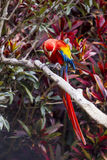Macaw bird full length perched on a branch in a jungle. Macaw bird full length perched on a branch in the jungle Royalty Free Stock Image