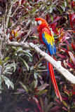 Macaw bird full length side profile while perched on a branch. In a jungle Stock Image