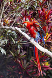 Macaw bird full length spreading wings and showing colors Royalty Free Stock Photos