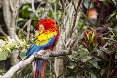 Macaw bird grooming itself while sitting in a tree. Macaw bird grooming itself while in a tree Royalty Free Stock Photo