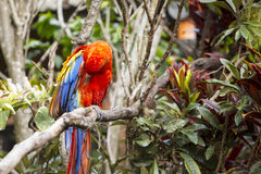 Macaw bird preening while sitting in a tree. Macaw bird preening itself while sitting in a tree Royalty Free Stock Image