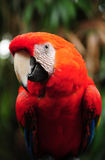 Macaw bird Stock Images