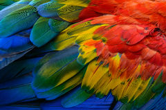 Macaw bird`s feathers. Close up of Scarlet macaw bird`s feathers Stock Photo
