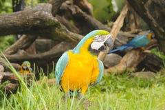 Macaw bird. Stock Photo