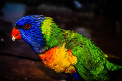 Macaw Bird Standing on Brown Wooden Table during Night Time Stock Images
