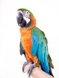 Macaw bird Royalty Free Stock Image