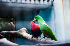 Macaw Birds. A pair of macaw birds kissing on a branch Royalty Free Stock Photo