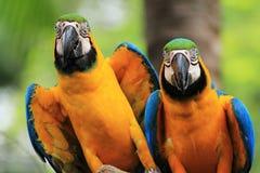 Macaw Birds [Ara ararauna] Stock Photography