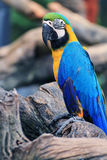 Macaw Birds [Ara ararauna] Stock Photos