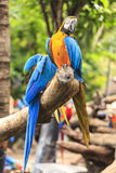 Macaw birds Royalty Free Stock Photography
