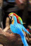 Macaw birds Stock Photos