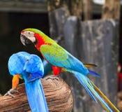 Macaw birds Stock Photo