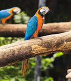 Macaw birds Stock Photography