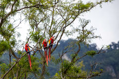 Macaw birds in a tree in the jungle. Macaw birds in a tree in a jungle Stock Images