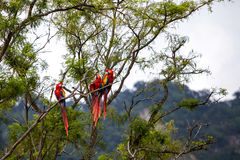 Macaw birds in a tree in a rainforest. Macaw birds in a tree in the rainforest Royalty Free Stock Photos