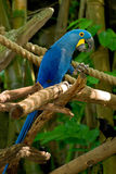 Macaw bleu photo stock