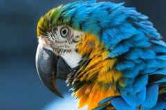Macaw bleu Photos libres de droits