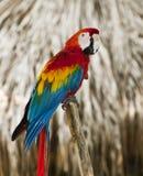 Macaw bleu de rouge d'aile Images libres de droits