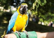 Macaw bleu et jaune Images libres de droits