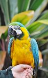 Macaw bleu et jaune Photographie stock libre de droits