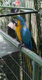 Macaw bleu et jaune Image libre de droits