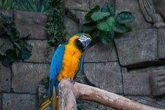 Macaw Bleu-et-jaune Beau perroquet d'aras sur la branche d'arbre sur le fond de jungle photo libre de droits