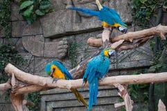 Macaw Bleu-et-jaune Beau perroquet d'aras sur la branche d'arbre sur le fond de jungle images libres de droits
