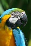Macaw bleu et jaune de perroquet - Photo stock