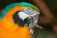 Macaw bleu et jaune de verticale Image stock
