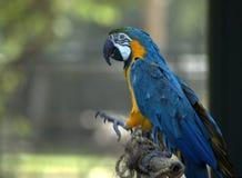 Macaw bleu II Image libre de droits