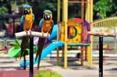 Macaw blu Fotografia Stock