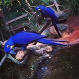 Macaw blu Immagine Stock