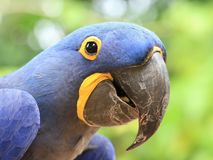 Macaw blu Fotografie Stock Libere da Diritti