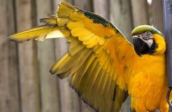 Macaw blu dell'oro che allunga ala gialla Fotografie Stock