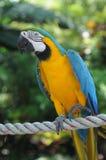 Macaw Blu-e-Giallo Immagini Stock