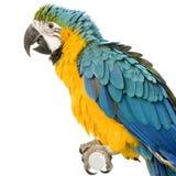 Macaw Blu-e-giallo Immagine Stock Libera da Diritti