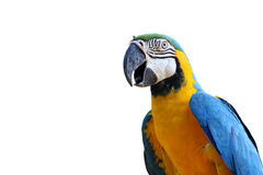Macaw Blu-e-giallo Fotografie Stock
