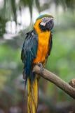 Macaw Blu-e-giallo Immagine Stock