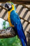 Macaw blu e giallo Immagini Stock Libere da Diritti