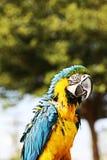 Macaw blu e giallo Fotografia Stock Libera da Diritti