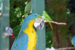 Macaw Blu-e-giallo (ararauna del Ara) Immagini Stock