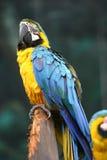 Macaw blu giallo. fotografie stock