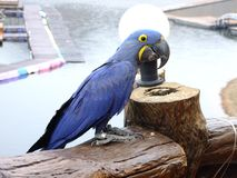 Macaw blue royalty free stock images
