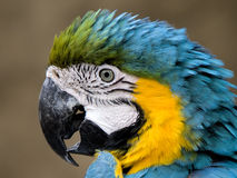 Macaw Blue and Gold. Head of Blue and gold Macaw royalty free stock photos
