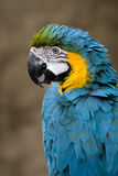 Macaw Blue & Gold. Head and shoulder shot of a beautiful Blue & Gold Macaw royalty free stock image