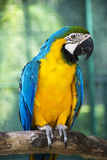 Macaw 03. The blue and Gold macaw Ara ararauna Royalty Free Stock Photos