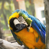 Macaw 04. The blue and Gold macaw Ara ararauna Royalty Free Stock Photography