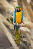 Macaw 01. The blue and Gold macaw Ara ararauna Royalty Free Stock Images