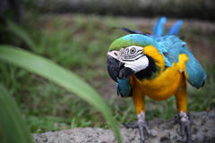 Macaw. Blue and Gold Macaw Perch on the Branch Stock Photography